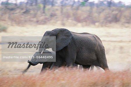 Éléphants Afrique