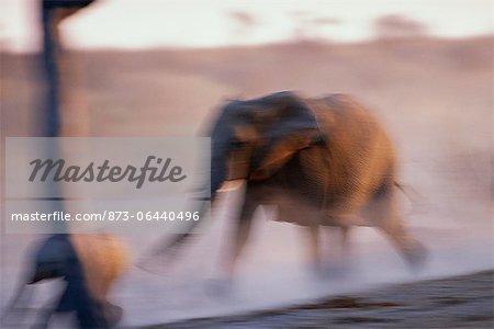 Vue brouillée de l'éléphant d'Afrique Afrique en cours d'exécution