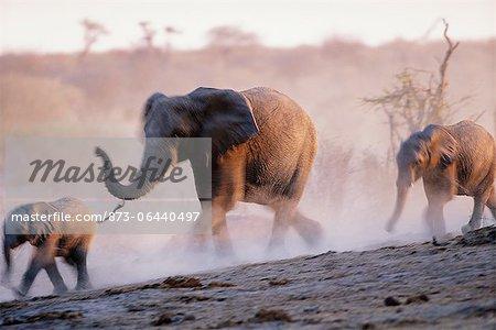 Éléphants africains Afrique en cours d'exécution