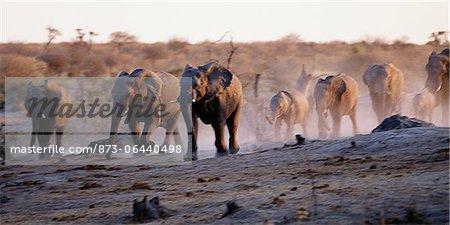African Elephants Running Africa
