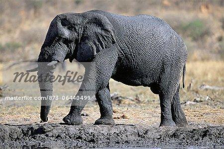 African Elephant Calf Africa