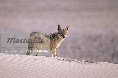 Chacal à dos noir sur une Dune de sable Namibie, Afrique