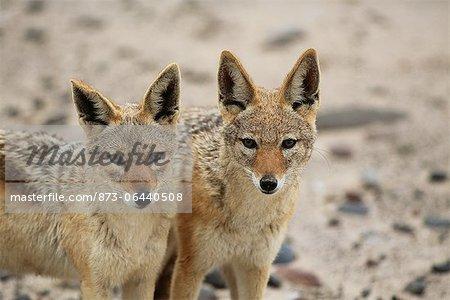 Portrait de la chabraque chacals Namibie, Afrique