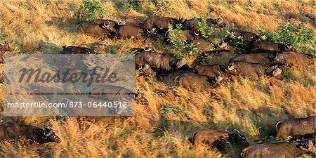 Vue aérienne du troupeau Buffalo : Parc National Kruger Mpumalanga, Afrique du Sud