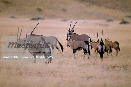 Troupeau d'Oryx en champ Kaokoland, en Namibie, Afrique