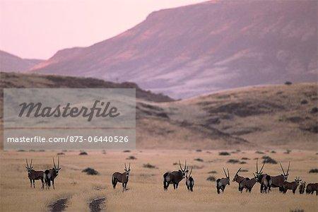 Herd of Gemsbok in Valley at Dusk Kaokoveld, Namibia Africa