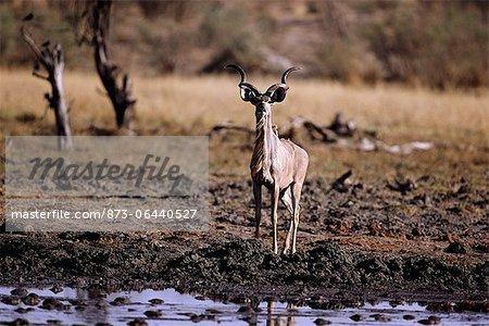 Kudu à trou d'eau du Damaraland, Namibie Afrique