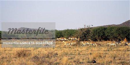 Troupeau de Springbok saut en champ Gilles, Namibie Afrique