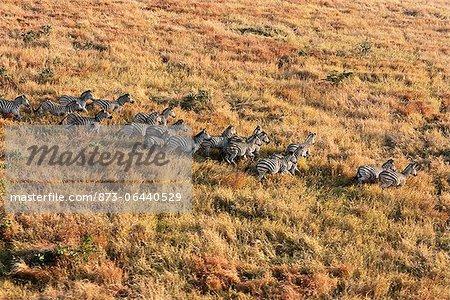 Vue aérienne de Zebra troupeau : Parc National Kruger Mpumalanga, Afrique du Sud