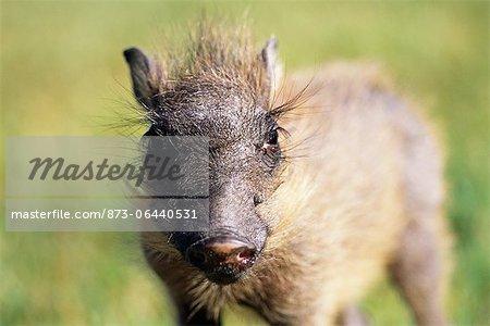 Portrait of Warthog Piglet Erindi, Namibia, Africa