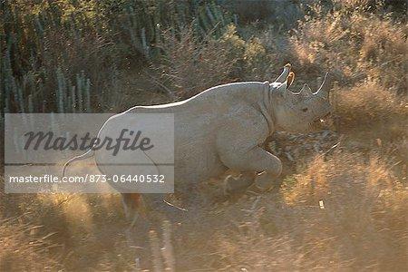 Rhinocéros noirs en cours d'exécution à travers champ Addo Elephant National Park Eastern Cape, Afrique du Sud