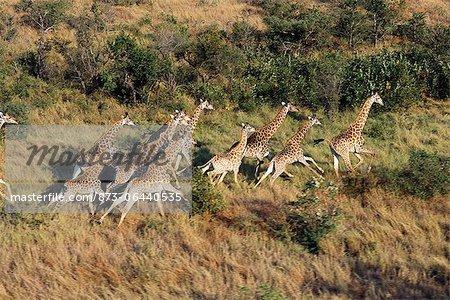 Vue aérienne du troupeau : Giraffe Running Parc National Kruger Mpumalanga, Afrique du Sud