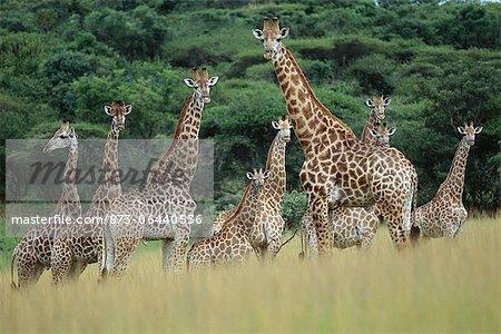 Troupeau de Giraffe debout dans le champ Namibie, Afrique
