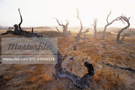 Dead arbres Purros, Namibie, Afrique