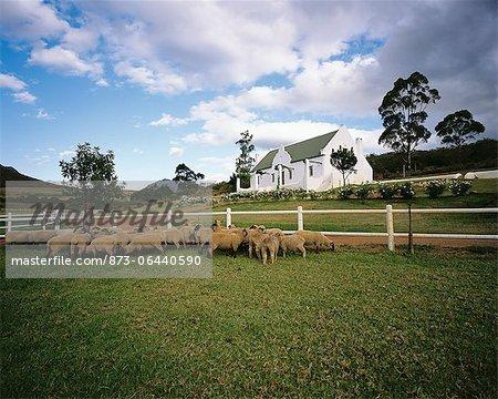 Sheep in Field Swellendam, Western Cape South Africa