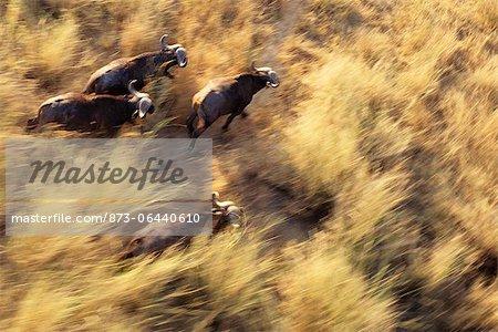 Troupeau de buffles Kruger National Park Mpumalanga, Afrique du Sud