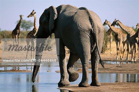 Éléphant à trou d'eau