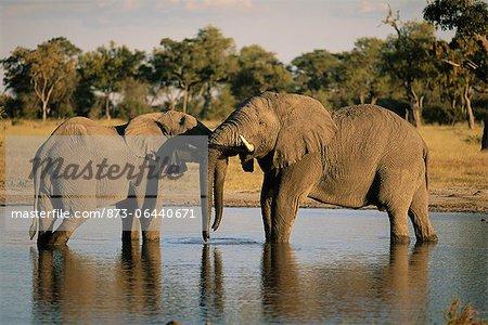 Éléphants au trou d'eau