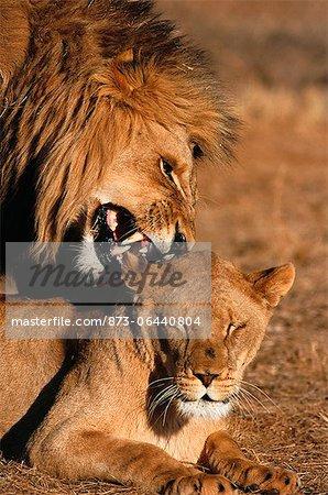 Lion et lionne, Kruger National Park, Afrique du Sud