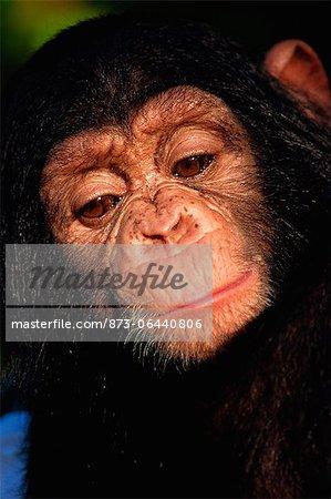 Chimpanzé, Zoo de Pretoria, Afrique du Sud
