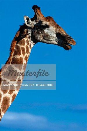 Girafe, Kruger National Park, Afrique du Sud