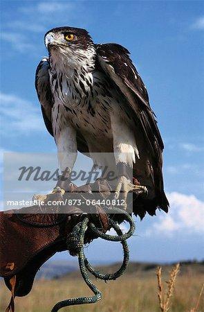 Hawk africaine