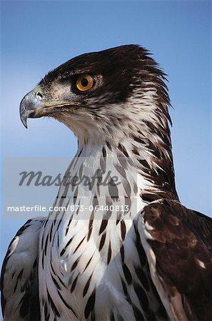 African Hawk