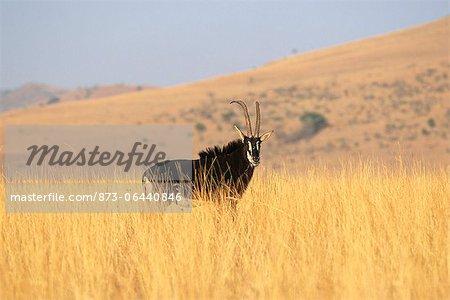 L'hippotrague noir dans le champ, North West Province, Afrique du Sud