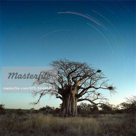 Baobab Tree pendant la nuit, Province de Limpopo, Afrique du Sud