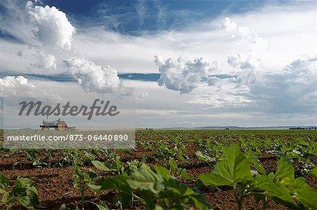 Tracteur à tournesol champ, bénédictions, la Province du Nord-Ouest, Afrique du Sud