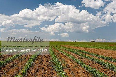Champ de maïs, bénédictions, la Province du Nord-Ouest, Afrique du Sud