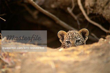 Portrait of Leopard Cub