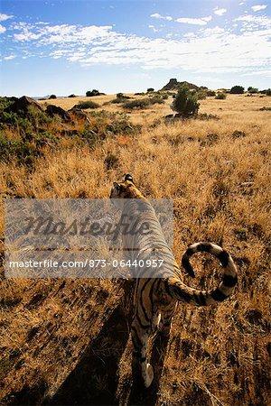 Tigre marchant dans la prairie, Karoo, Afrique du Sud