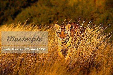 Tiger Walking In Long Grass, Karoo, South Africa