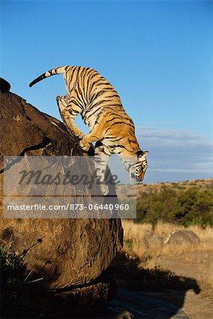 Tigre sautant vers le bas de Boulder, Karoo, Afrique du Sud