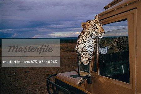Leopard Sitting On Hood of Land Rover, Masai Mara, Kenya
