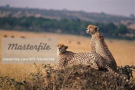 Cheetahs Looking Over Plain, Masai Mara, Kenya