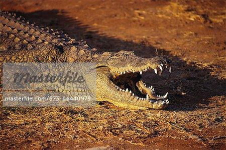 Crocodile en plein soleil, Londolozi Game Reserve, Afrique du Sud
