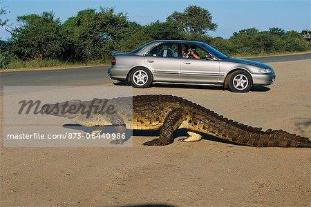 Personnes dans la voiture, je regarde le Crocodile, le Parc National Kruger Mpumalanga, Afrique du Sud