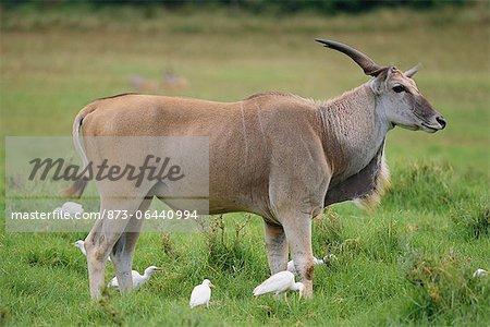 Eland Standing in Grass