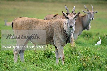Deux Elands debout dans l'herbe