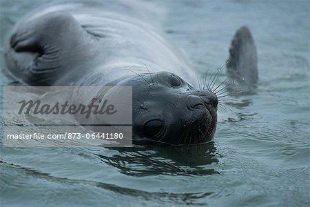 Portrait of Seal, South Georgia Island, Antarctica