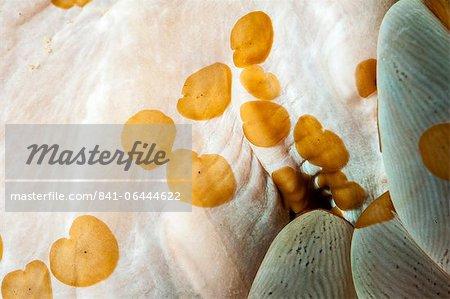 Acoelous flatworms (Acolela order), Sulawesi, Indonesia, Southeast Asia, Asia