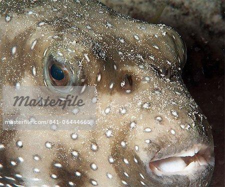 White spotted puffer fish (Arothron hispidus), Sulawesi, Indonesia, Southeast Asia, Asia