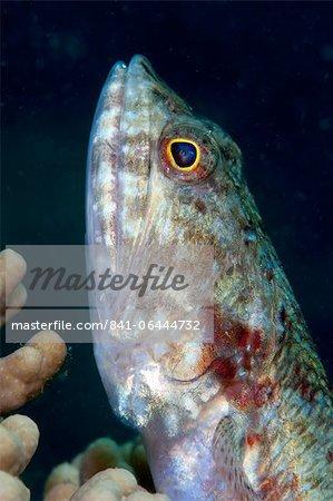 Lizardfish (Synodus sp.), Sulawesi, Indonesia, Southeast Asia, Asia