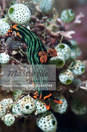 Nudibranch (Nembrotha kubaryana), Sulawesi, Indonesia, Southeast Asia, Asia