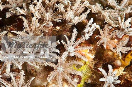 Coraux mous de fougères arborescentes (Clavularia sp.), Sulawesi (Indonésie), Asie du sud-est, Asie