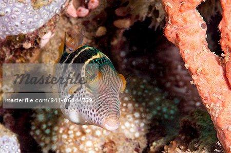 Mimic filefish (Paraluteres prionurus) minics black saddled toby, Sulawesi, Indonesia, Southeast Asia, Asia