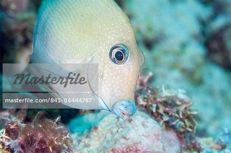 Blue lined surgeonfish (Acanthurus nigroris), Sulawesi, Indonesia, Southeast Asia, Asia