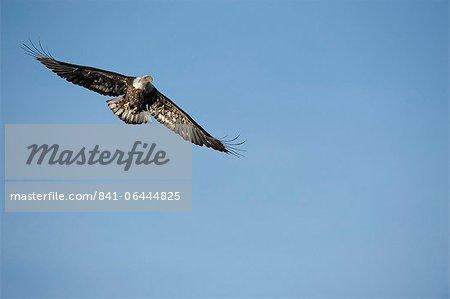 Aigle à tête blanche (Haliaeetus leucocephalus) voler dans un ciel bleu, Coeur d'Alene Lake, Idaho, États-Unis d'Amérique, Amérique du Nord
